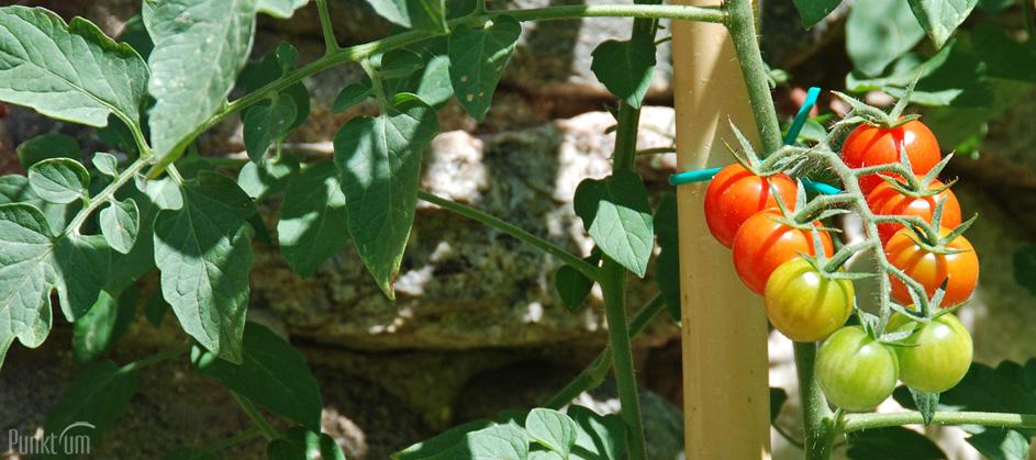 Diese Tomaten schmecken, natürlich und nicht genmanipuliert